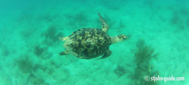 Sea Turtles on St. John