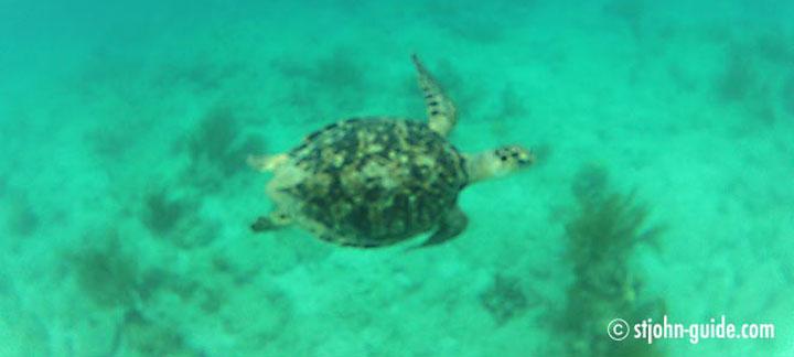 Sea Turtles on St. John